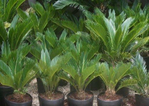 tambem-conhecida-como-sagu-a-planta-cica-se-adapta-melhor-em-areas-externas-e-e-facil-de-cuidar-1266158416123_560x400